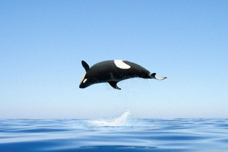 orca_small